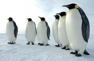 Emperor pinguins in Antarctica