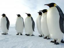 Emperor pinguins in Antarctica