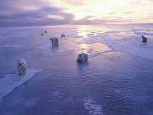 Polar bears, whales, walrusses and other big animals in the Arctic ocean
